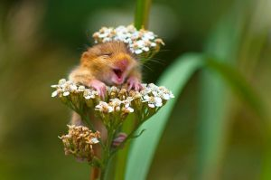 laughing-dormouse-wildlife-photography-awards-winners-2017