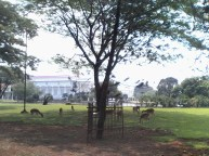 deer at President Palace area