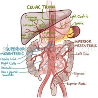 Blood supply of the GI tract