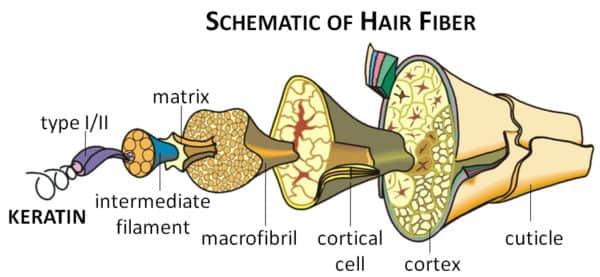 Keratin Protein found in Hair