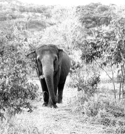Skins IR - Veterinary/Conservation thermography - Elephants Brazil