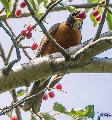 Robins love fruit.