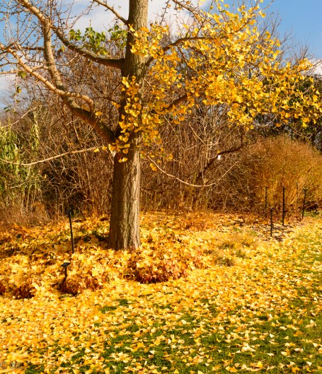 Carpet of gingko leaves