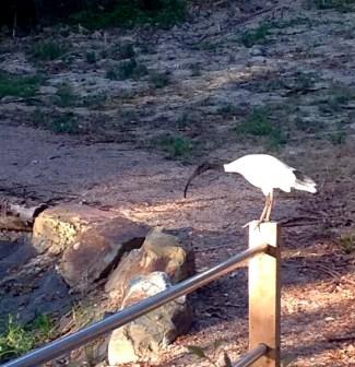ibis 1