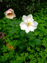 Japanese Windflower with oxalis