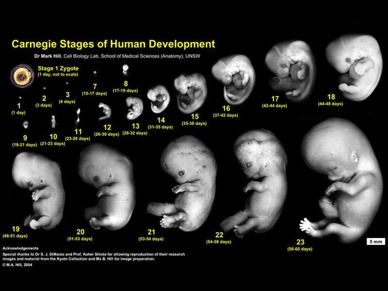 Human Carnegie stage 1-23