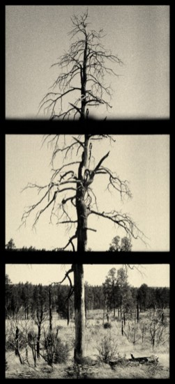 Tall Dead Tree 1 - half-frame 35mm scan