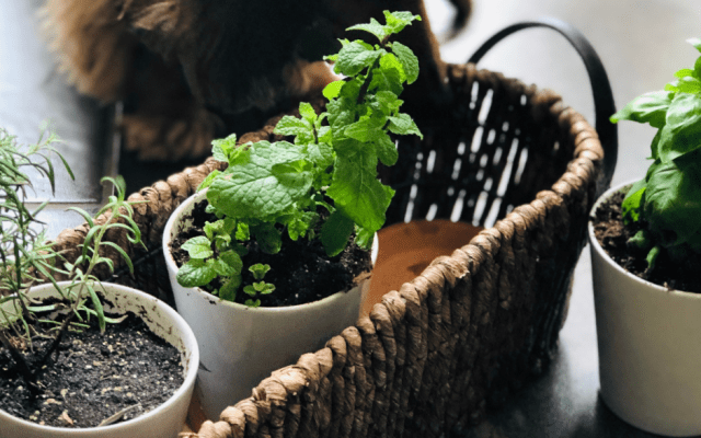 Money-saving kitchen herb garden