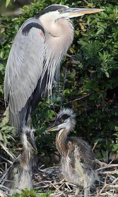 Heron with chicks.