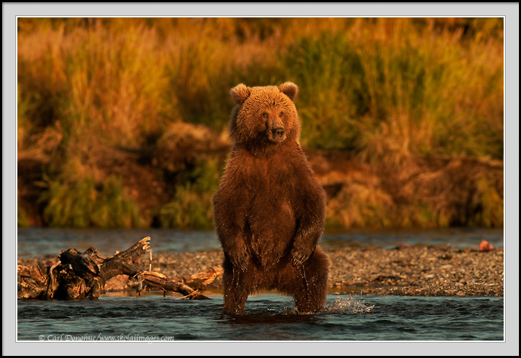 Grizzly Bear Cub Standing Up Photo Bear Cubs Pictures