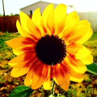sunflower-louisiana-e1405693050717