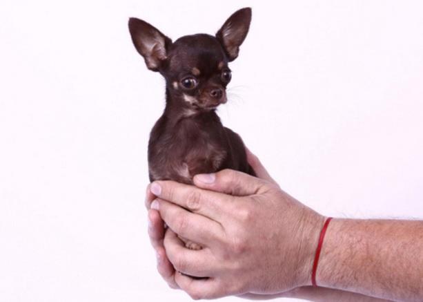 самая маленькая собака - чихуахуа Милли