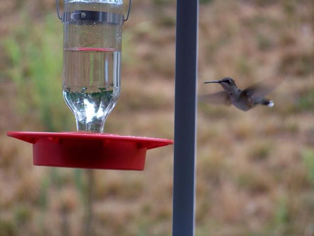 hummingbird01