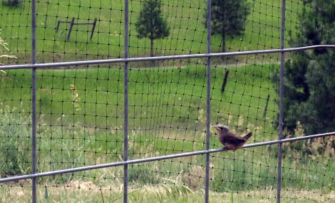 wren with fence