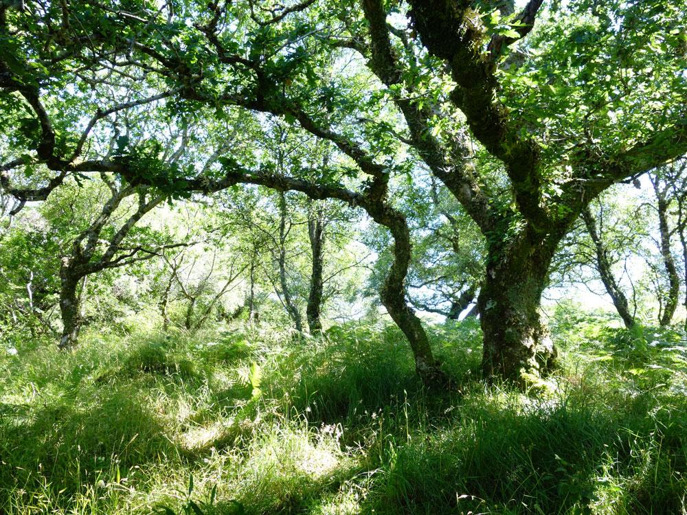 oak tree in woodland