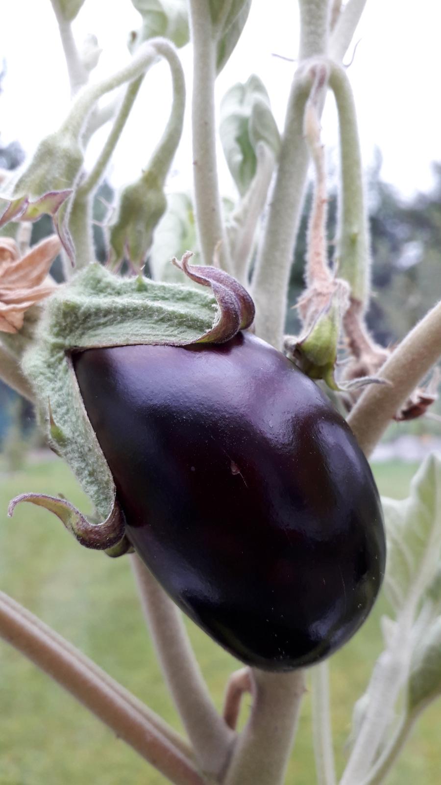 close up of aubergine