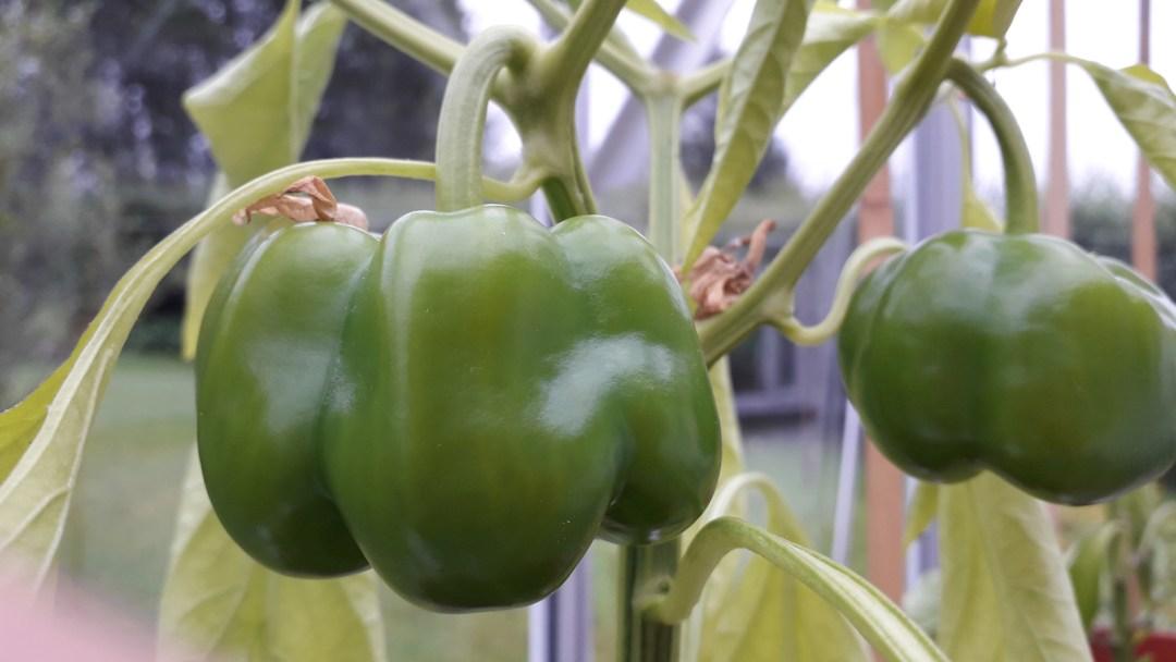 close up of green pepper