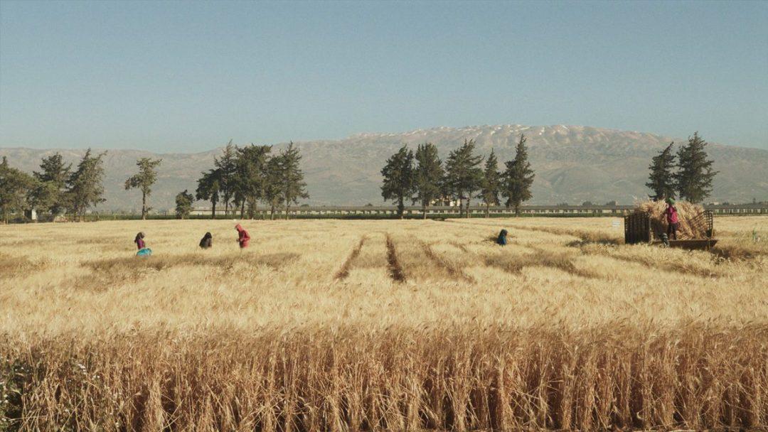 people work in fields of grain
