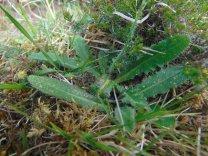 Puccinia hieracii var. hypochaeridis