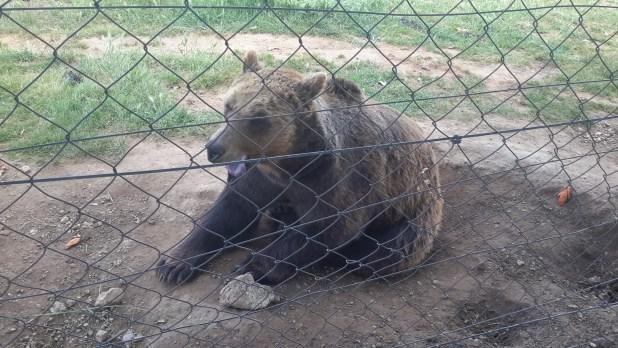 Bear in Korenica Zoo