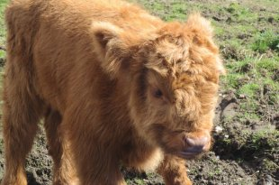 Hairy Coo Calf