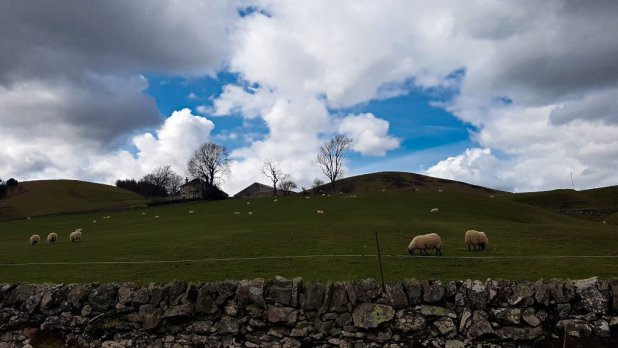 Sheep and Lambs on the Hill