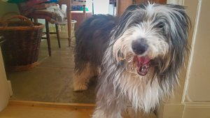 Bearded Collie at Linda's