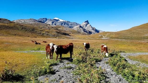 Cows on the GR 5 Alpine Trail in Tignes
