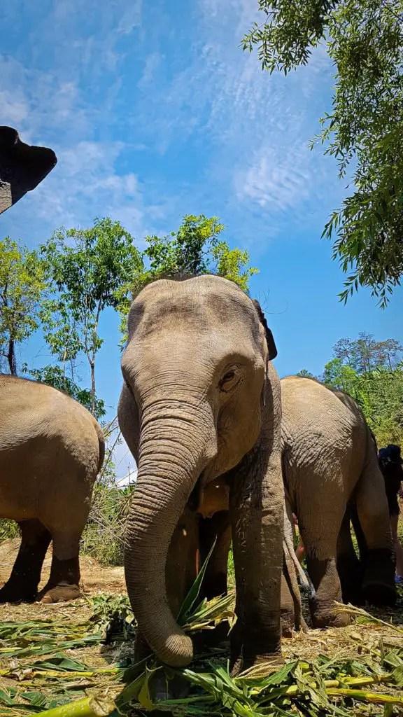 Elephants Feeding at the Elephant Jungle Sanctuary