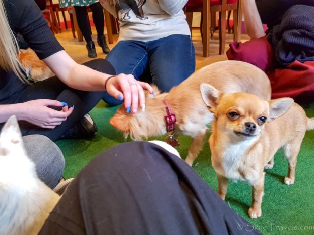 Chihuahua Cafe Fun