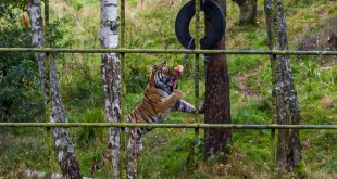 Tiger Eating Lunch at the Highland Wildlife Park
