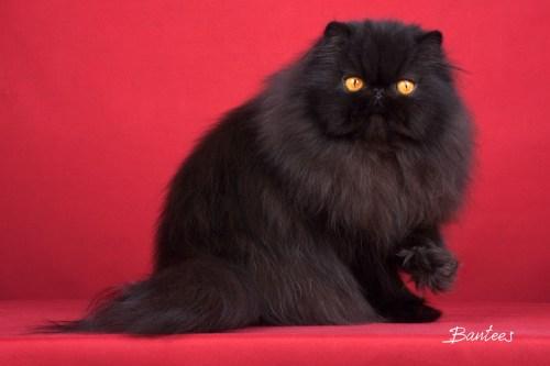 gatos persas e exóticos