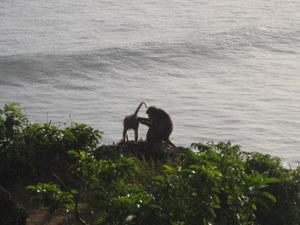 Małpy w świątyni Ulu watu