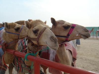 Wielbłądy wyścigowe