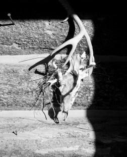SABourne_montana_skull