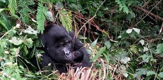 sky news africa Uganda reports 2 new gorilla babies in Bwindi national park