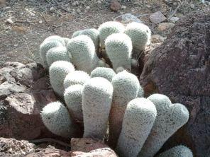 cactus in a clump