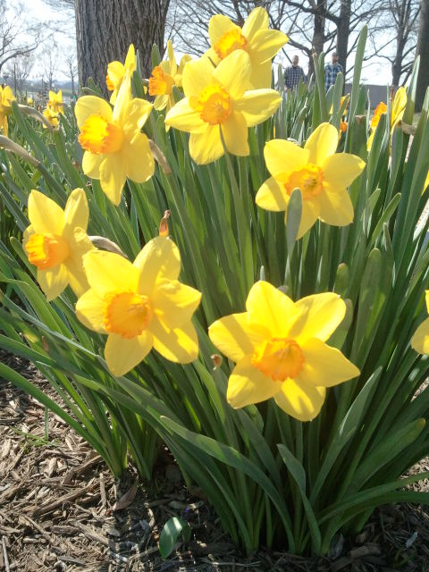 Daffodils? Jonquils? Pretty!