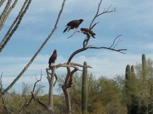 Three hawks on the same tree