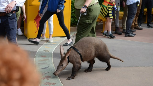 Disney+ Magic of Disney's Animal Kingdom - an Aardvark!