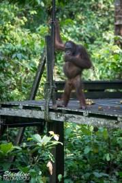 Orangutans in rehabiliation