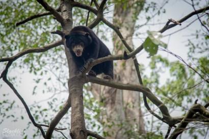 Sun Bears in rehabilitation