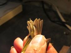 De staartpennen van de bladkoning