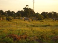 Seeing zebra during the sunrise.