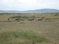 Topi we saw on the Safari.