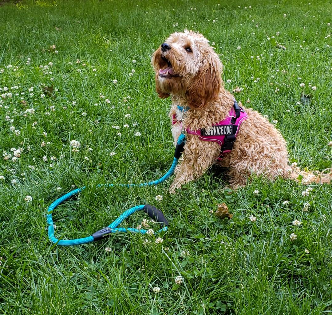 Breeding Cavapoo Female Scarlet the Service Dog