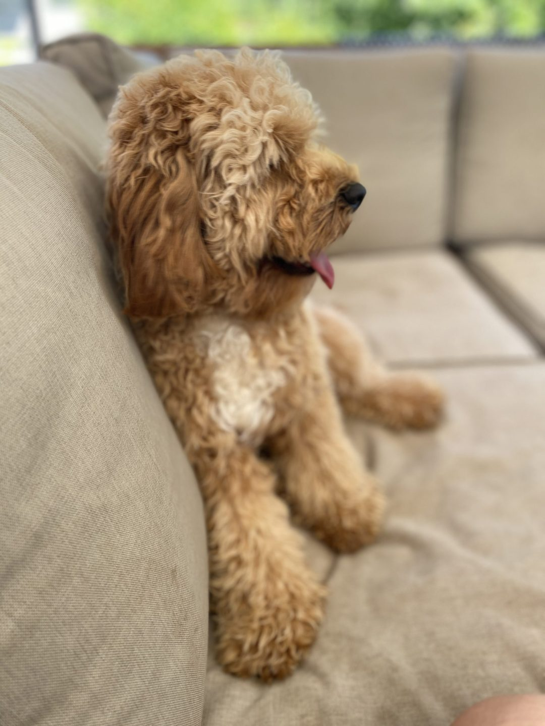 Difference Cavapoo vs Cavoodle vs Cavadoodle