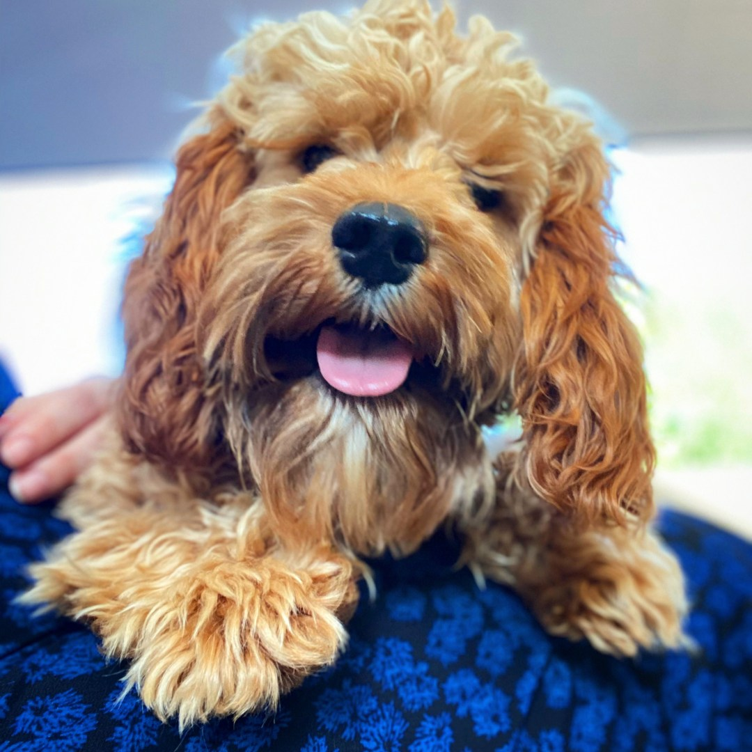 All About Cuddly Cavapoos