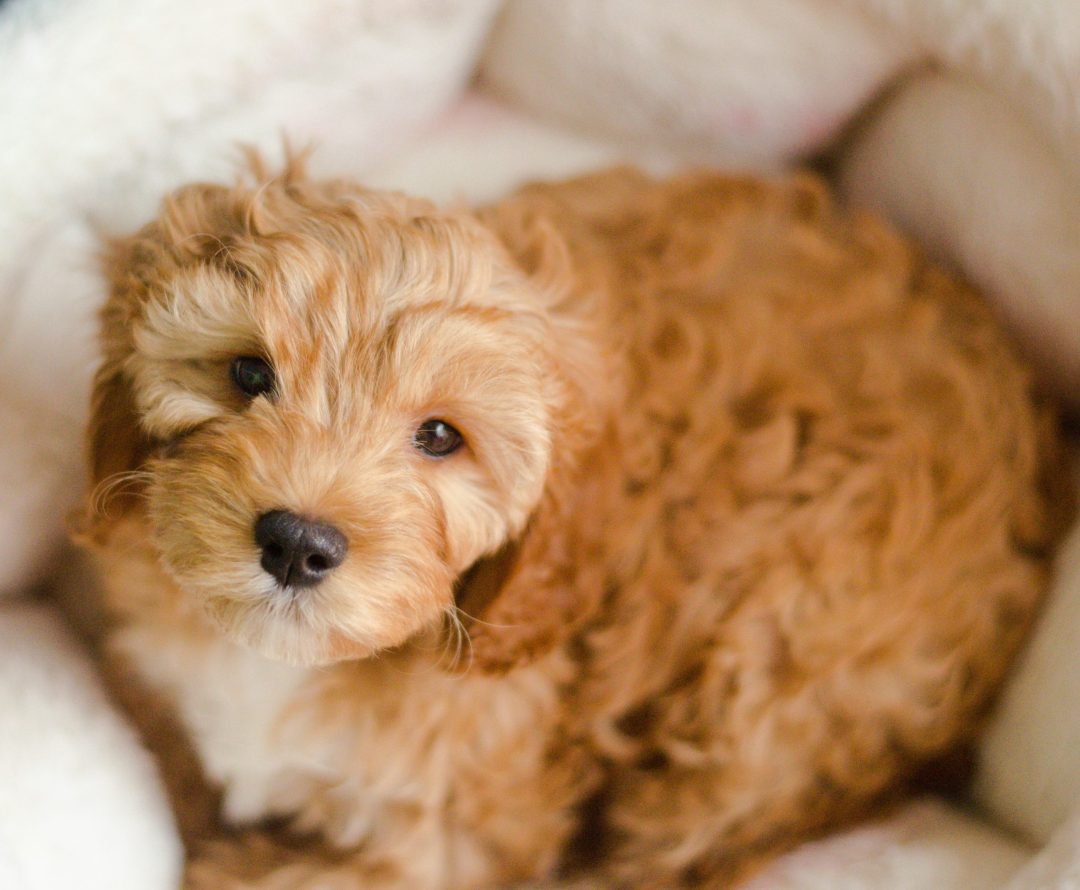 Cavapoo Puppy For Sale