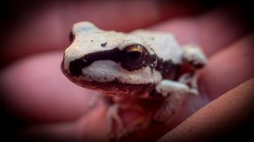Unuasually pale tree frog